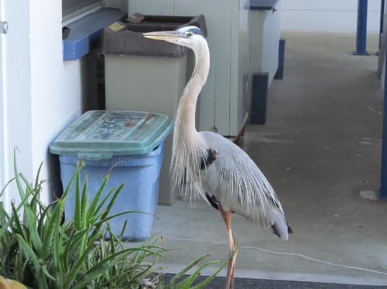 Great Heron Inn: Heron waiting for his fish breakfast