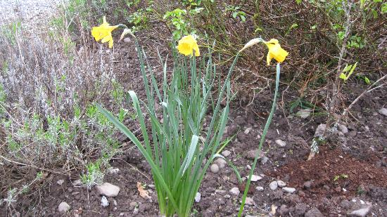An Bruachan: Daffodils in bloom