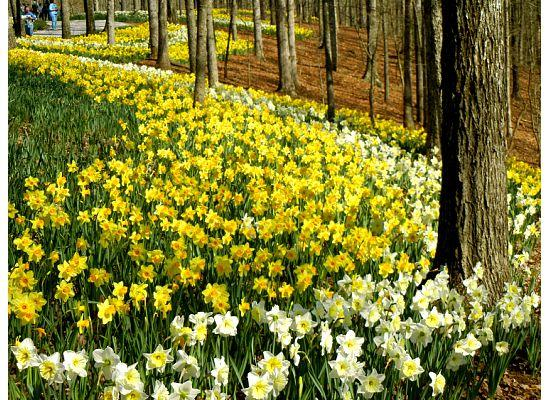 Daffodils at Gibbs Gardens - Picture of Gibbs Gardens, Ball Ground ...