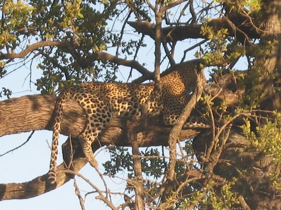 Singita Lebombo Lodge: Leopard in a Tree
