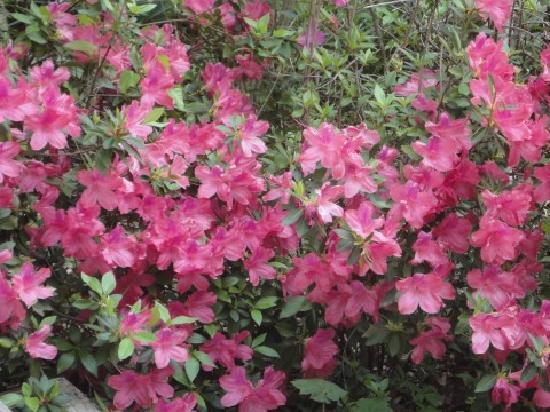 Judge Porter House Bed and Breakfast: the beautiful azaleas