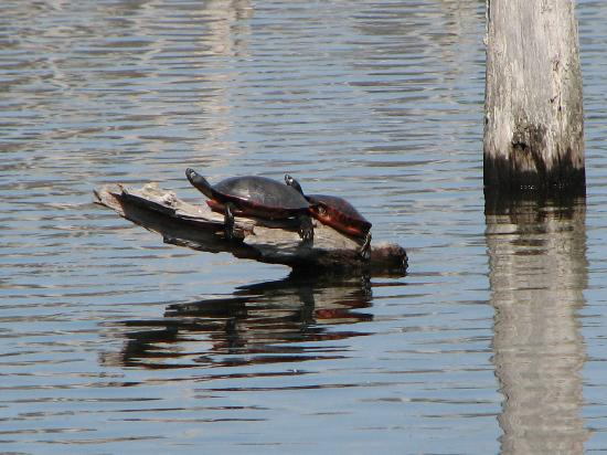 Manasquan Reservoir Visitor Center: Painted turtles