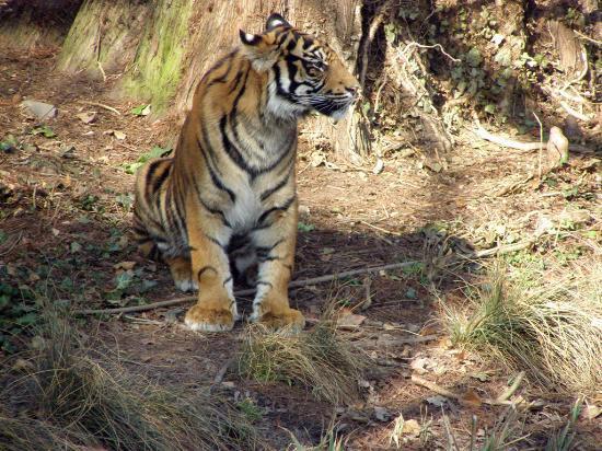 Frankfurt Zoo (Zoologischer Garten Frankfurt/Main) : tiger