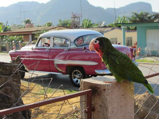 Sunny Balcony House, Vinales: Parrot of the host family