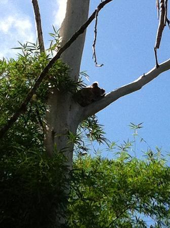 Discovery Parks - Byron Bay: Koala dans la région de Byron
