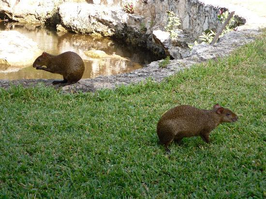 Villas Picalu B&B Boutique: The local agouti love to play in the backyard at Villas Picalu - Very cute!