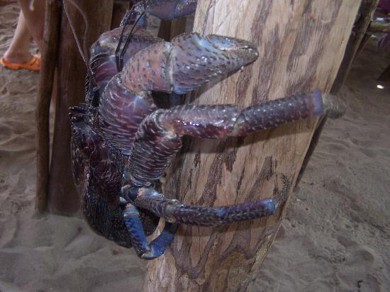 Hakuna Majiwe Beach Lodge: granchio del cocco