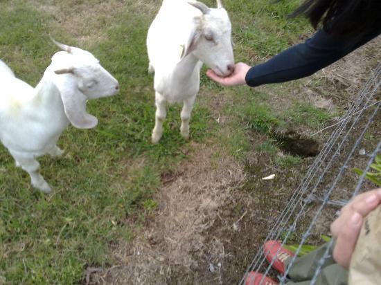 Sanctuary Park Cottages: Feeding the friendly goats!