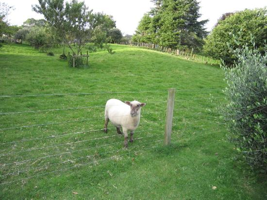 Broekhaven Country Cottage: Friendly sheep, Milo, wanting a scratch on its head