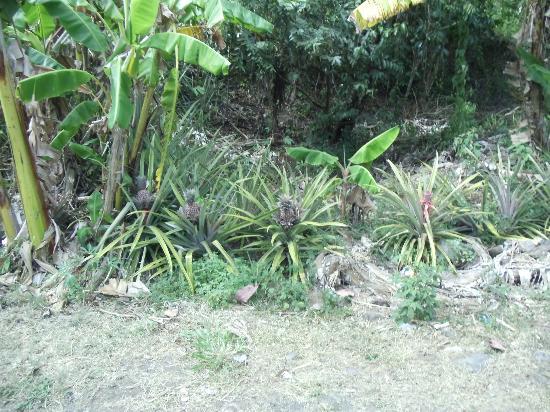 Luxury Safari Antigua: Black pineapple