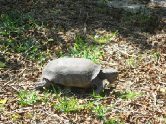 Beach Road Villas: Gopher Tortoise