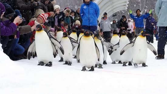 旭川市, 北海道, ペンギンの散歩。