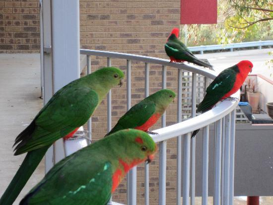 Lorne Coachman Inn: King Parrot family outside our rooom