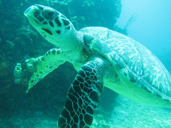 Cancun Diving College : turtle
