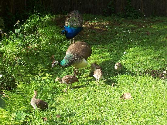 DellWay HideAway : our peacock family grazing