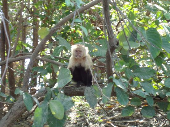 Central American Tours: The monkey that scored the mango