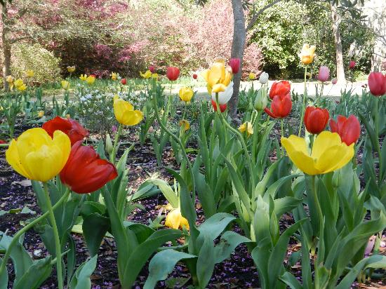 Airlie Gardens : Tulips