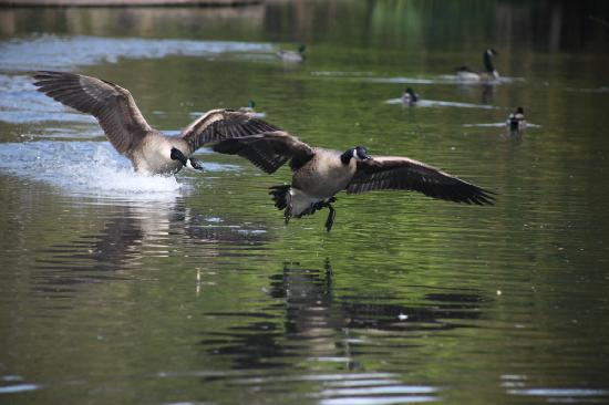 Bramall Hall: Canada Geese chasing each other