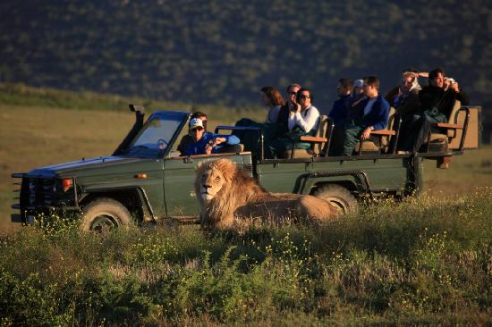 Garden Route Game Lodge: Lion sighting on safari
