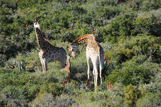 Garden Route Game Lodge: Baby giraffe with mother
