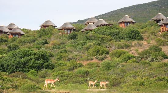 Garden Route Game Lodge: Impala in front on chalets