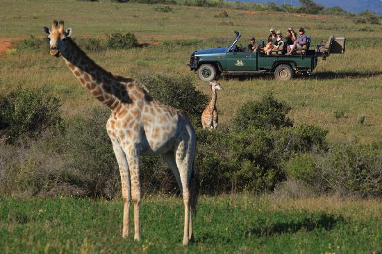 Garden Route Game Lodge: Giraffe on safari