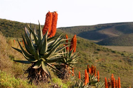 Garden Route Game Lodge: Aloes in the veld