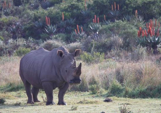 Garden Route Game Lodge: White rhino bull
