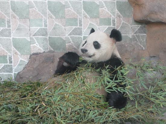 Wenzhou Zoo: Pandas