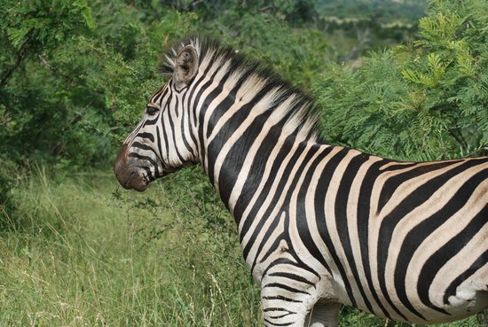 Dive the Big Five: Zebra
