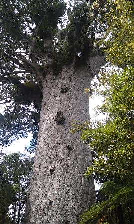 Waipoua Forest Kauri Tour - Mydo New Zealand : Kauri tree over 2000 years old