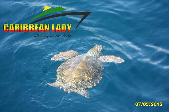 Caribbean Lady Private Tour: Sea Turtle