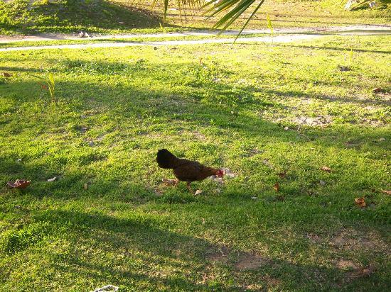 IFA Villas Bavaro Resort & Spa: more chickens ; )