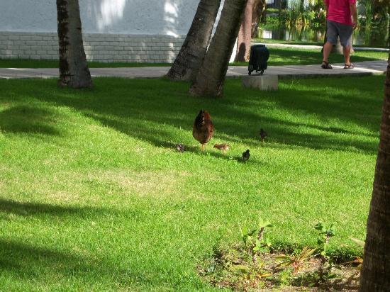 IFA Villas Bavaro Resort & Spa: Chicks and momma