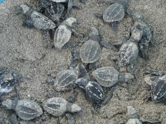 Pargo Feliz Hotel: baby turtles release