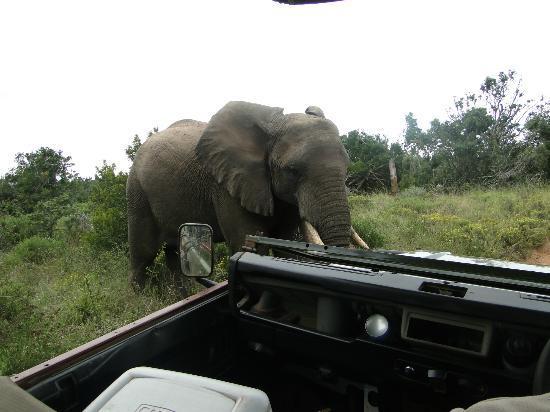 Amakhala Game Reserve: Elefant