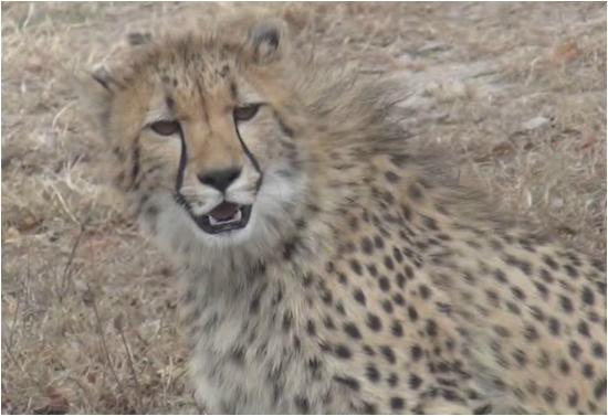Kapama Buffalo Camp : Lord of cats