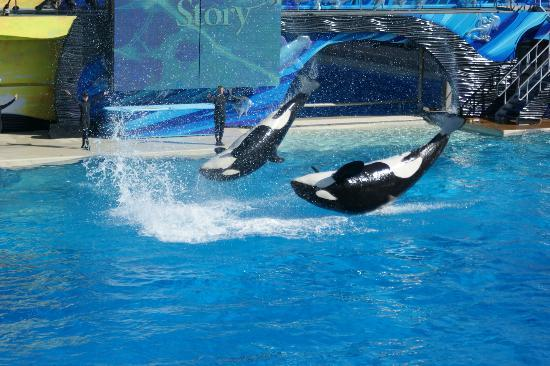 Incidents At Seaworld Parks: Sea World San Diego-Shamu Show With Human Interaction