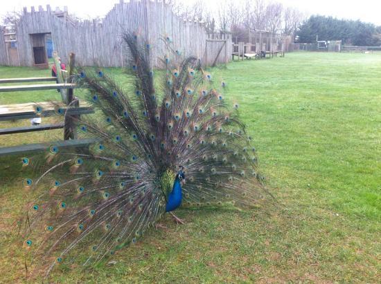 Tropiquaria Zoo: Peacock in full display