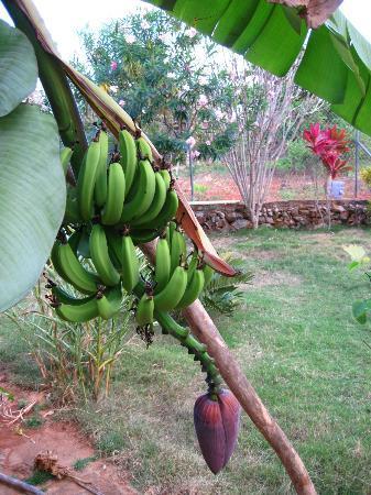 La Hacienda Hostel Ranch: Der Garten - exotische Früchte