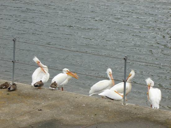Lafayette Reservoir: pelicans