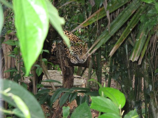 Mariposa Jungle Lodge: Chillin' Cat- at Belize Zoo