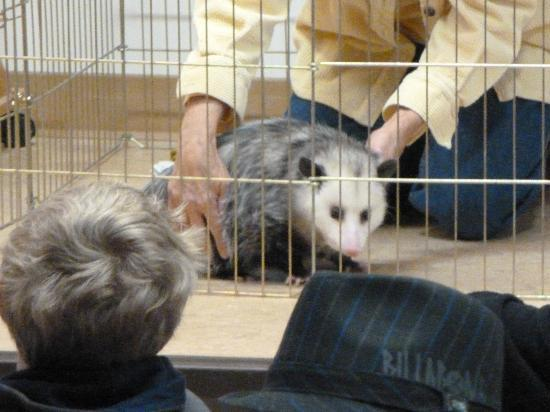 Placerita Canyon Nature Center: School programs include animal shows (here is Daisy, the Virginia Opossum)