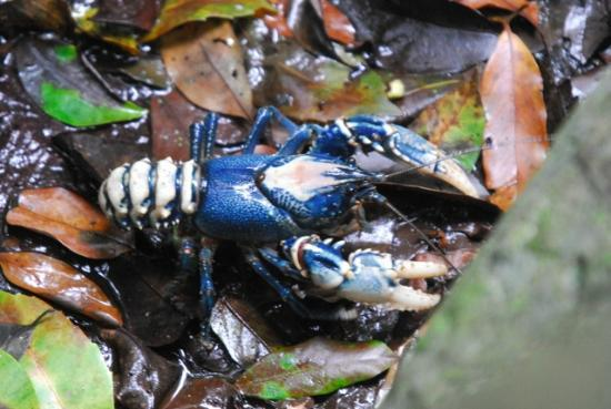 Lamington National Park: Eastacus sulcatus - Lamington spiny crayfish