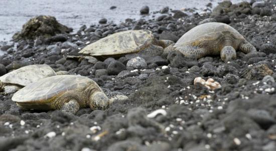Fairmont Orchid, Hawaii: Turtles regularly visit