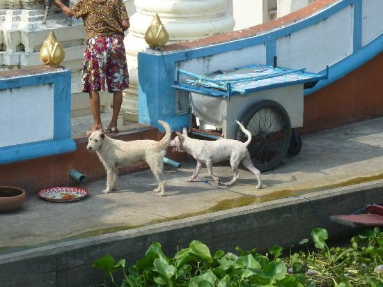 Queen's Garden Resort at River View : Some of the resident dogs that live at the Wat, across from Queen's Garden.