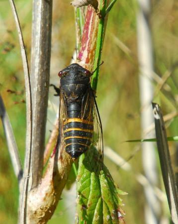 Lake Macquarie: Black Prince cicada