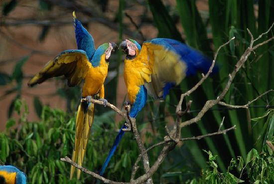 ‪تامبوباتا ريسيرش سنتر لودج: Blue-and-yellow Macaws (Ara ararauna)‬