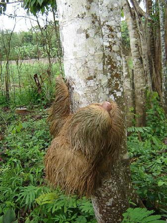 Tambopata Research Center: Sloth