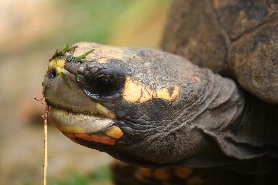 Barbados Wildlife Reserve: tortoise close up